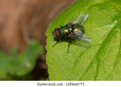 A Common Green Bottle Fly resting on a leaf. Stan Wadlow Park, Toronto, Ontario, Canada.