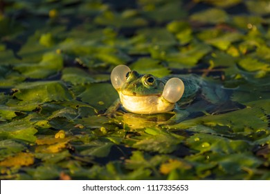 The common Green Frog (Lake Frog or Water Frog) in the water in Danube Delta. Closeup frog photography at sunrise
