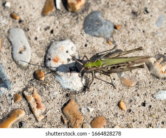 Common Green Grasshopper on path.