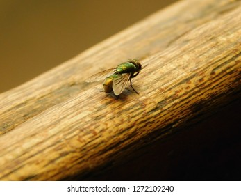 Common Green Housefly Close-up