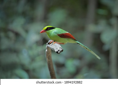 Common green magpie, Cissa chinensis Walk for a living on the ground in the forest of Kaeng Krachan, Thailand.