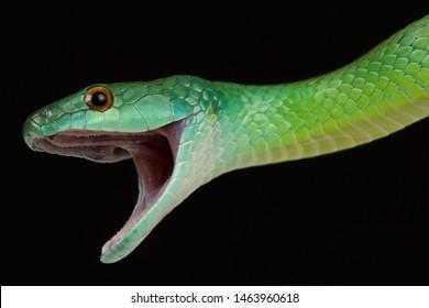 Common green racer (Philodryas viridissima)