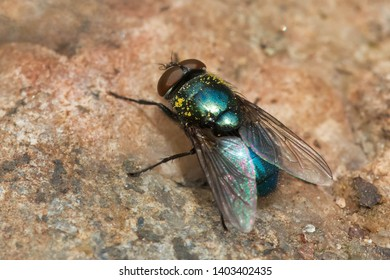 A Common Greenbottle Fly is resting on a small stone in the ground. Rosetta McClain Gardens, Toronto, Ontario, Canada.