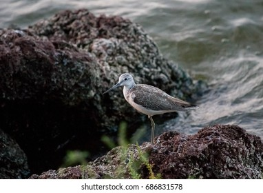 Common greenshank, Ethiopia