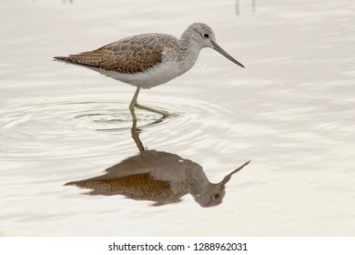 Common Greenshank (Tringa nebularia), juvenile wading, Cornwall, England, UK.