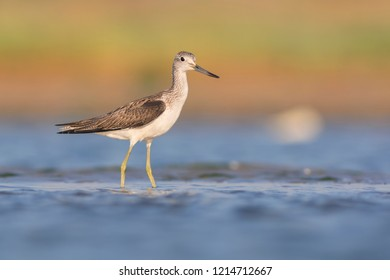 Common Greenshank (Tringa nebularia). Tylihul Estuary, Ukraine