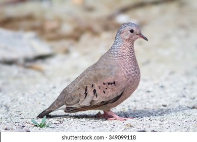 The Common Ground-Dove