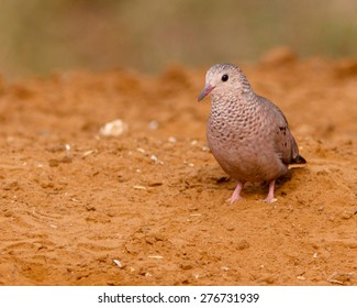 Common Ground-Dove looking for food.
