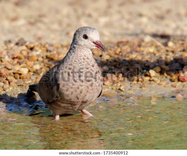 Common Ground-Dove at water's edge in South Texas