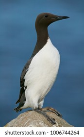 Common guillemot or Mure (Uria aalge)