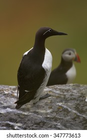 Common guillemots (murre) Uria aalge on cliff  next to puffin, with distant green and brown background.