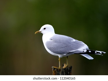 Common gull bird perching on pole