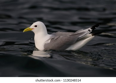 Common gull floating on the north sea, romsdalsfjord, norway