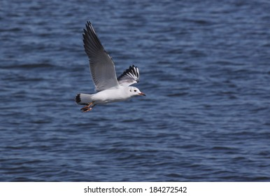 Common gull flying above river