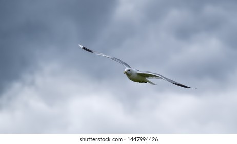 Common gull flying in a grey sky with his wings outstretched