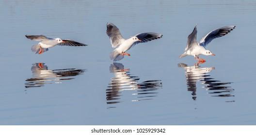 Common gull landing on lake.