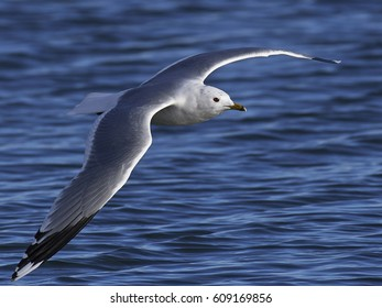 Common gull (Larus canus) in flight with blue water in the background