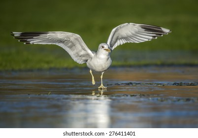 Common Gull (Larus canus canus) flying from an icy pond
