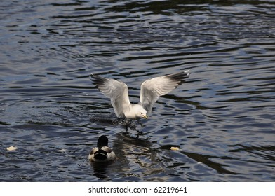Common Gull (Larus Canus) in hunt for food on the River Klar?lven in Karlstad, Sweden