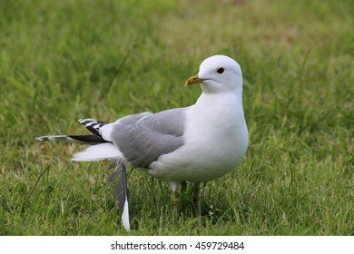 Common gull (Larus canus) with a loose feather.