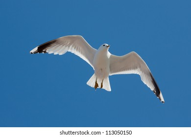 Common Gull (Larus canus canus) at Runde island (Norway)