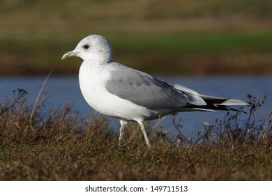Common gull, Larus canus, Single bird standing on grass by water, Norfolk, Nov 2009