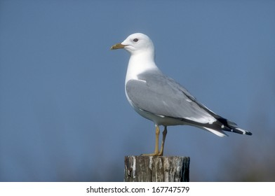 Common gull, Larus canus, single bird on post, Denmark