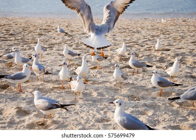 A common gull (Larus canus) takes off, surrounded by other seagulls on the beach.