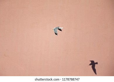 A common gull or mew gull (Larus canus) is flying infront of a pink wall followed by its shadow in the ports of Bremen Germany.