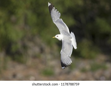 A common gull or mew gull (Larus canus) flying infront of a rocks and trees in the ports of Bremen Germany.