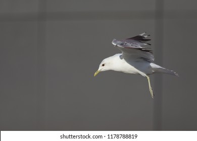 A common gull or mew gull (Larus canus) flying infront of a grey squared building in the ports of Bremen Germany.