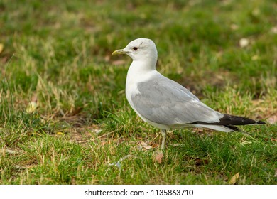 The common gull (mew gull) is a medium-sized gull that breeds in northern Asia, northern Europe, and northwestern North America.