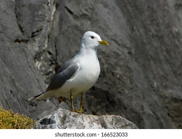 Common Gull on the stone