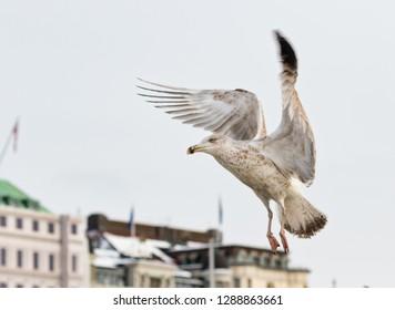 common gull - seagull flying gracefully