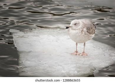 common gull - seagull on ice floe