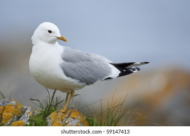 Common gull sitting on a rocky coast