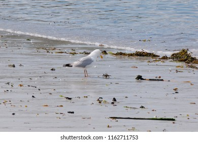 A Common Gull stands on wet sand amongst washed up seaweed, eyes fixed on a small crab.