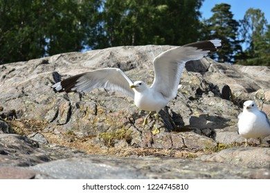 Common gulls standing on a big rock with one gull spreading its wings