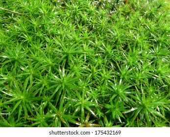 Common haircap moss (polytrichum commune)