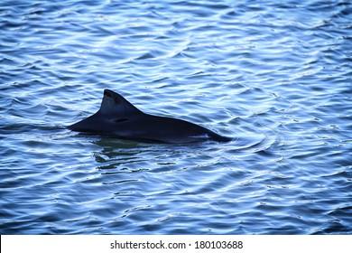 Common or Harbour Porpoise (Phocoena phocoena) dorsal fin breaking the water