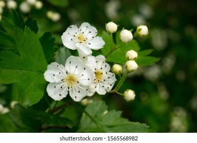 Common hawthorn blossom. Wild Hawthorn tree (crataegus monogyna) in flower in the spring.