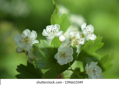 Common hawthorn branch with tiny white flowers in the spring with a foliage background. Crataegus monogyna, oneseed hawthorn, single-seeded hawthorn