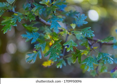 Common hawthorn, Crataegus monogyna, in autumnal forest of the Tobia River Valley in La Rioja Autonomous Community of Spain in Europe