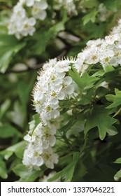 Common hawthorn crataegus monogyna shrub tree in bloom, wild white oneseed whitethorn blossom and leaves, blossoming flower heads, large detailed vertical macro closeup
