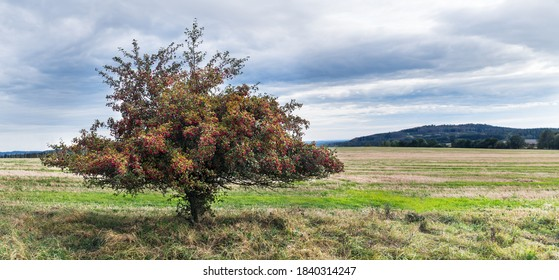 Common hawthorn in rural autumn panorama with cloudy sky. Crataegus monogyna. Alone thorny whitethorn tree with many red haws in landscape with stubble field and Choustnik hill view. Radenin, Czechia.