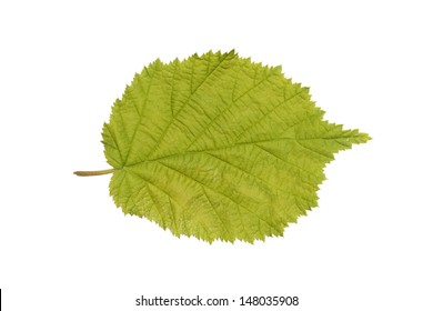 Common Hazel leaf isolated on white