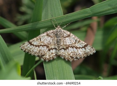 A Common Heath moth (Ematurga atomaria) on a blade of grass.