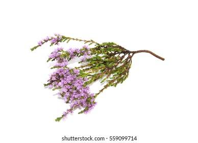 Common heather Calluna vulgaris isolated on white background