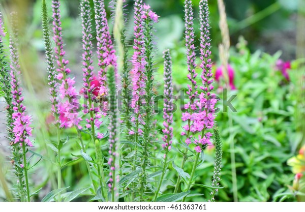Common heather calluna vulgaris . Small honey forest plant and ornamental garden plant.