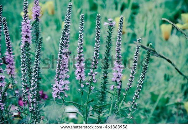 Common heather calluna vulgaris . Small honey forest plant and ornamental garden plant.
